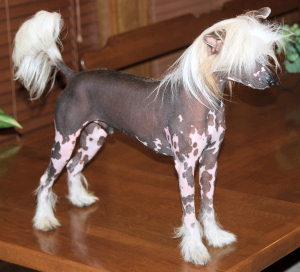 Chinese Crested Male Lonzo