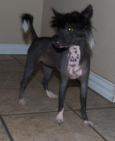 My beautuful little true Hairless Laila (now Lila) lives in beautiful Florida. She has a new Mommy and Daddy, along with a very nice wardrobe started already. I miss your kisses!
